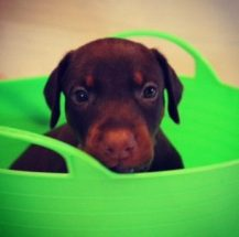 Puppies 008