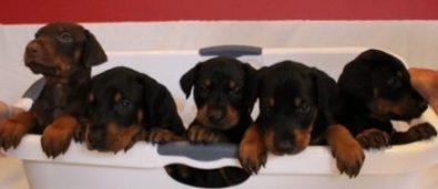 Puppies 012