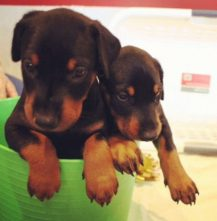 Puppies 013