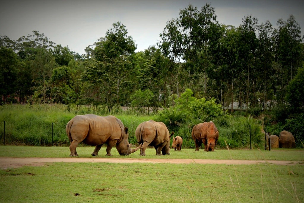 The Southern White Rhinos, including calf Mango.