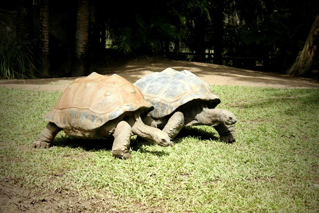Gentle giants ... Goliath and Igloo the Aldabran tortoises.