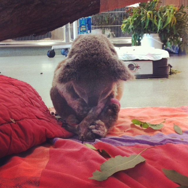 Peri the koala was left with a fractured leg after he was attacked by two dogs.