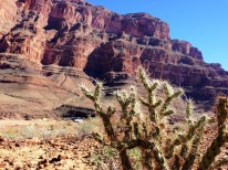 There are about 24 species of cacti found in the Grand Canyon.